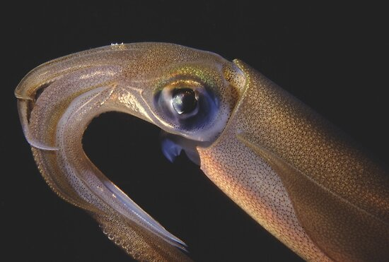 Squid, Camp Cove, Sydney Harbour by Erik Schlogl