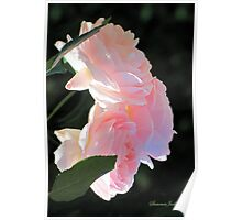 Backlit Roses ~ Sweetly Romantic Poster