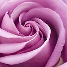Pink Rose Folded To Perfection by Sandra Foster