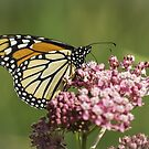 Monarch and Milkweed by Thomas Young