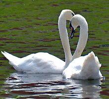 Swans by lynn carter