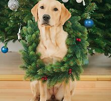 Labrador retriever dog wearing Christmas wreath by Elisabeth Coelfen