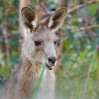 Kangaroo, taken at Urunga NSW by cs-cookie