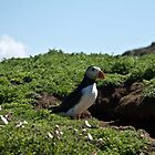 Puffin by snowy5