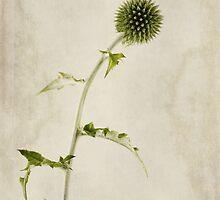 Echinops ritro 'Veitch's Blue' by John Edwards