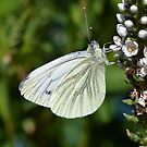 Green Veined White Butterfly - Pieris napi by Chris Monks