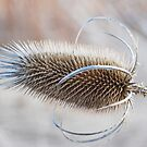 Thistle by Laurie Minor