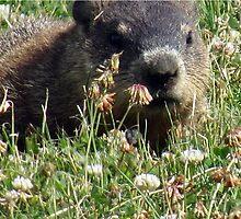 Groundhog, Montreal by KHMuller