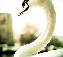 Majestic Swan by Pixelglo Photography