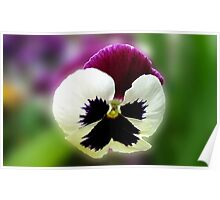 Pensive - A Rose Wing Pansy in a Reflection Frame Poster