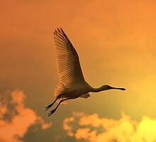 Spoonbill Stork - Sunset Flight of Color - African Wild Birds by LivingWild