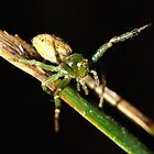 Crab Spider(Diaea) by Andrew Bonnitcha