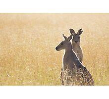 Grey Kangaroos Photographic Print