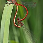 Small Red Damselfly by Robert Abraham