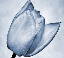 Cyanotype Tulip by John Edwards