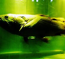 A living coelacanth. by AderynValentine
