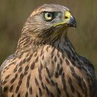 Juvenile Female Northern Groshawk ( Accipiter gentilis) - III by Peter Wiggerman