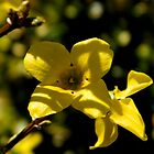 Forsythia Bloom     ^ by ctheworld