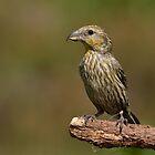 Crossbill (Loxia curvirostra Linnaeus) - I by Peter Wiggerman