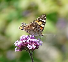 Painted Lady Butterfly by Andrew Good