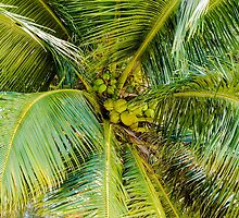 Bunch of green coconuts in palm tree by Stanciuc