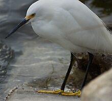 Snowy Egret by Scott Dovey