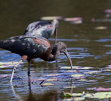 The Glossy Ibis by byronbackyard