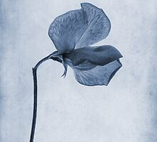 Sweet Pea Cyanotype by John Edwards