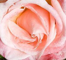 Pink Rose by closetpainter