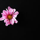 Chrysanthemum by Alan Harman