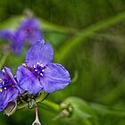 Spiderwort by Roger Passman