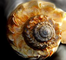 Sea Shell by WildestArt