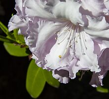White Rhododendron by Steve Randall