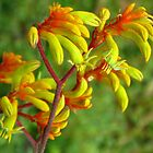 "Kangaroo Paw ""Gold Velvet"" by Marilyn Harris"