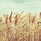 Wheat by LawsonImages