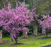 Spring Blossom, Flowering Almond Trees, Berwick, Australia. by johnrf