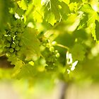 Grapevine by jswolfphoto