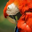 Red Parrot, the Scarlet Macaw – portrait by steppeland
