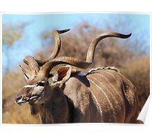 Kudu Bull - African Wildlife Background - Spiral Pride Poster