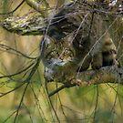 scottish wildcat by brett watson