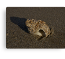 Weathered Whelk on Fahan Beach Canvas Print