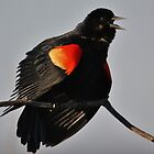 Red-Winged Blackbird Song by Tim Holmes
