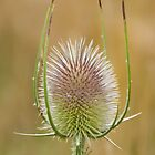 Teasel by Alex  Motley