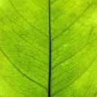 Lemon leaf by SIR13