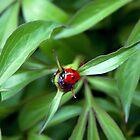 Ladybug on peony bud by SIR13