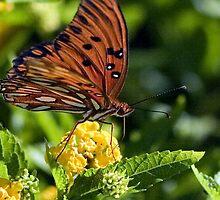 Gulf Fritillary Butterfly Fueling Up by Gene Walls
