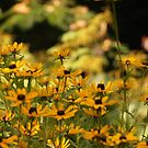 Black Eyed Susans by Linda  Makiej