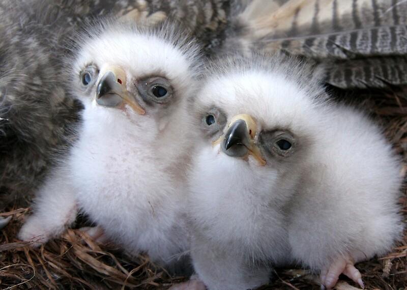 Balls of Fluff: Golden Eagle chicks photographed by Kent Keller in
