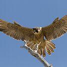 Glorious Wings by Kent Keller