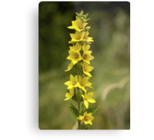 Dotted Yellow Loostrife, Muckross Head, Donegal Metal Print